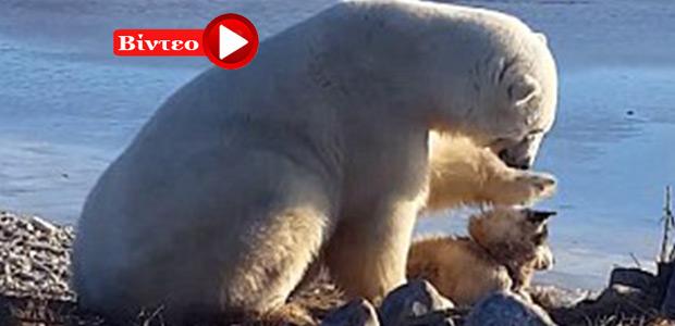 Η απίστευτη αντίδραση μια πολικής αρκούδας που βλέπει ένα δεμένο σκύλο