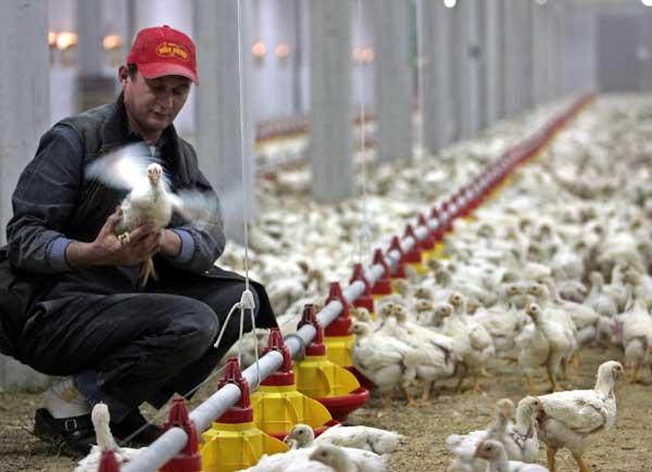 Σφαγή 200.000 κοτόπουλων στη Σουηδία λόγω της γρίπης των πτηνών