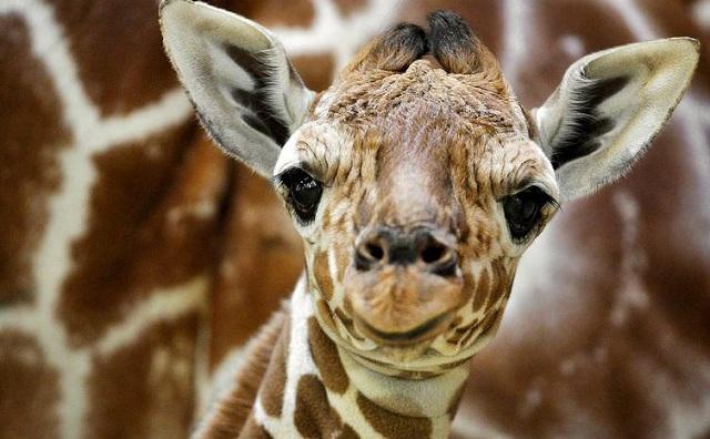 Το υψηλότερο ζώο του κόσμου κινδυνεύει με εξαφάνιση