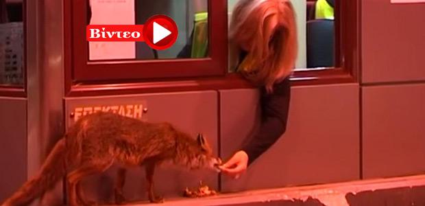 Υπάλληλος διοδίων της Εγνατίας Οδού, ταΐζει με τρυφερότητα μία αλεπού