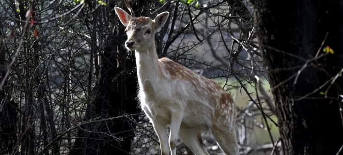 Ασυνείδητοι σκότωσαν 14 ελάφια με κυνηγετικό όπλο στη Ρόδο