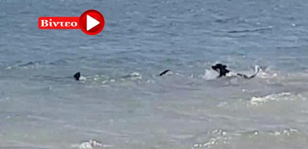 Ατρόμητος σκύλος τρέχει μέσα στον ωκεανό για να κυνηγήσει ένα τεράστιο καρχαρία