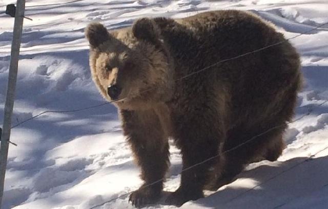 Ο χιονιάς έστειλε για... ύπνο τις αρκούδες του Αρκτούρου