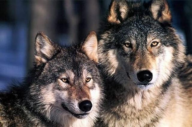 «Χορεύοντας» με τους λύκους στη Διάβα Καλαμπάκας