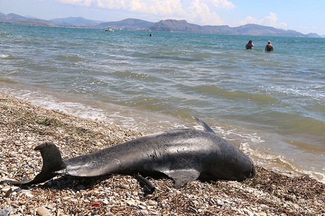 Νεκρό δελφίνι βρέθηκε στην Αγ. Μαρίνα Πτελεού