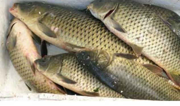 Ψαρεψαν παράνομα 230 κιλά γριβάδια στο Καλαμάκι