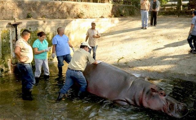 Σάλος στο Ελ Σαλβαδόρ για τον άγριο θάνατο «διάσημου» ιπποποταμου