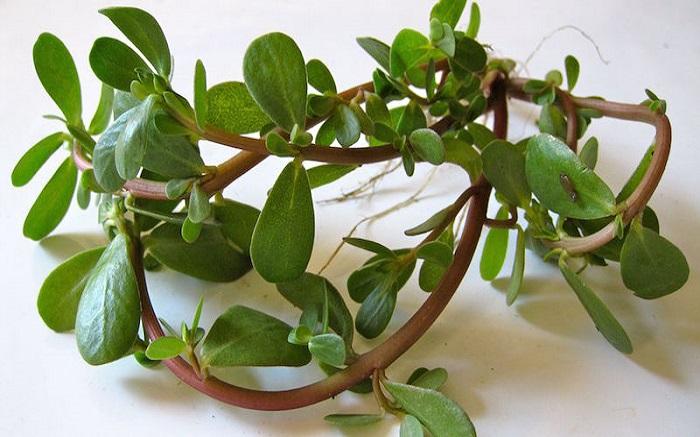 Γλιστρίδα, ένα θεραπευτικό φυτό με ιστορία τουλάχιστον 2.000 ετών