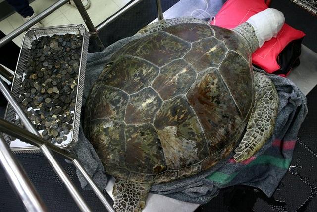 Σε κώμα η χελώνα που έφαγε 915 νομίσματα