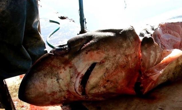 Έπιασαν και δεύτερο καρχαρία στον Αργολικό