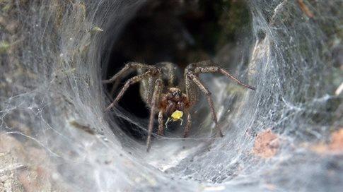 Δηλητήριο αράχνης περιορίζει τη βλάβη μετά από εγκεφαλικό επεισόδιο