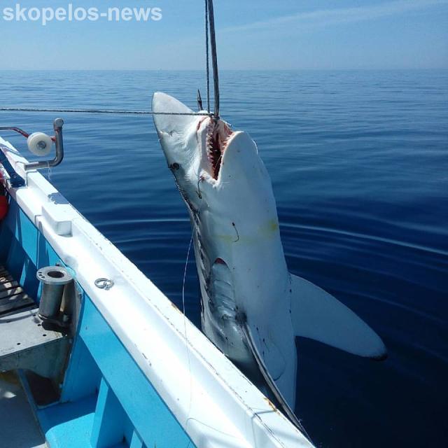 Σκοπελίτες ψαράδες  αλίευσαν καρχαρία 300 κιλών