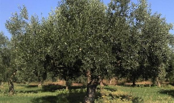Να μη χρησιμοποιείται το chlorpyrifos στην καλλιέργεια ελιάς