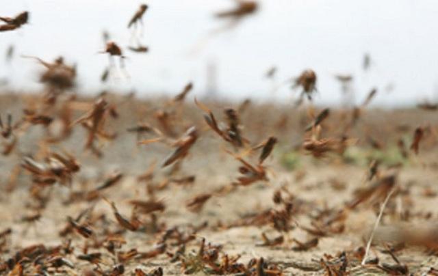 Σε κατάσταση εκτάκτου ανάγκης ο Άγιος Ευστράτιος. Ακρίδες ισοπεδώνουν το φυτικό βασίλειο