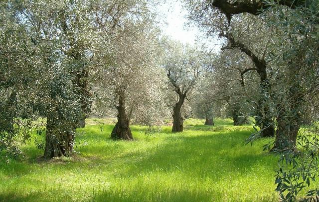 Χρήση φυτοπροστατευτικών προϊόντων στην καλλιέργεια της ελιάς
