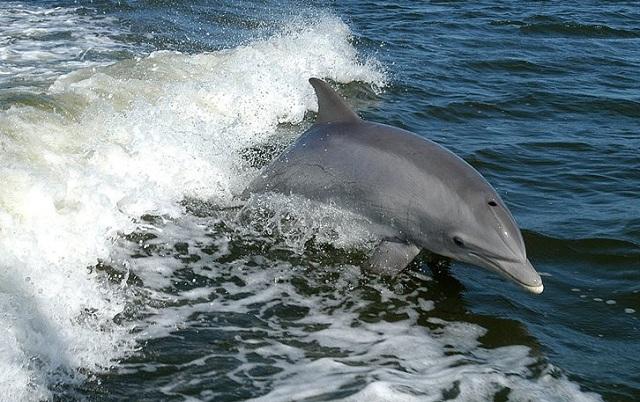 Κοπάδι δελφινιών στον Κορινθιακό προσφέρει μοναδικό θέαμα [βίντεο]