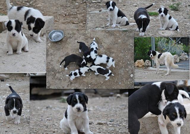 Χαρίζονται έξι σκυλάκια