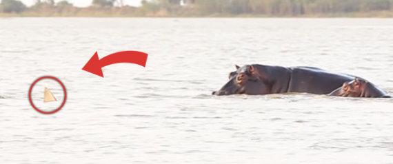 Καρχαρίας επιτίθεται σε αγέλη ιπποποτάμων - Δείτε τι ακολουθεί