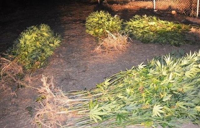 Νυχτερινή αστυνομική έφοδος αποκάλυψε πάνω από 300 χασισόδεντρα