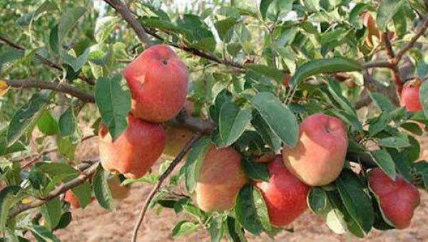 Μείωση 10% στην παραγωγή μήλων στην περιοχή της Ζαγοράς