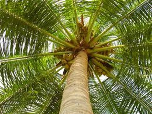 Έκαναν άθλημα την αναρρίχηση σε δέντρα καρύδας