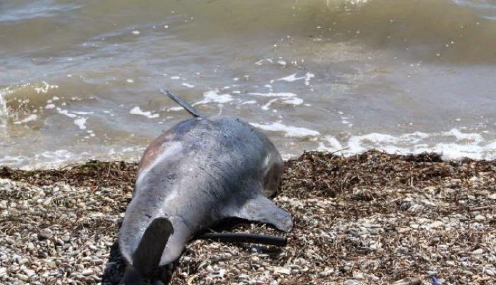 Νεκρό δελφίνι στο Ν. Πήλιο