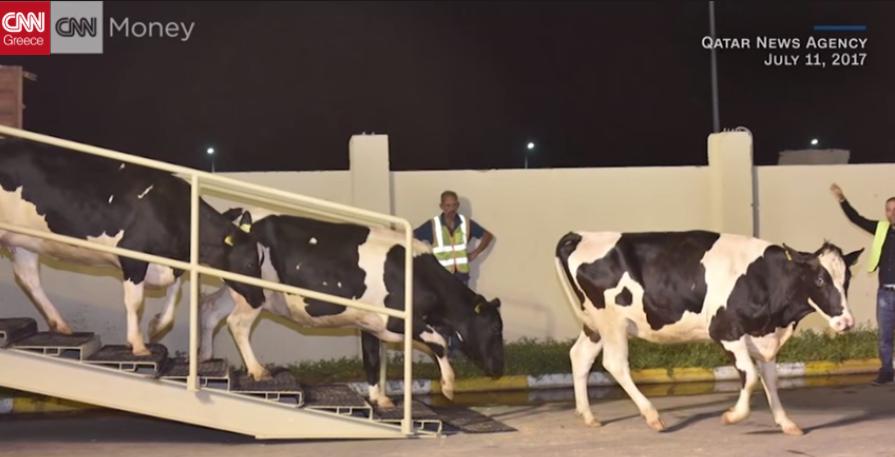 Πετούν οι αγελάδες; Στο Κατάρ πετούν!