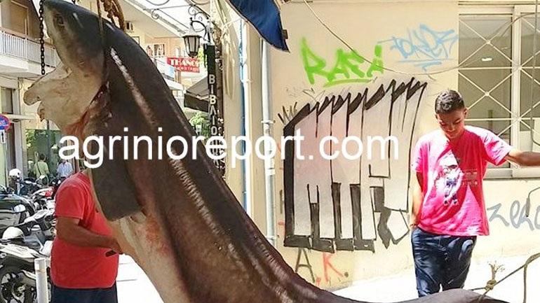 Αγρίνιο: Στα δίχτυα των ψαράδων καρχαρίας 350 κιλών