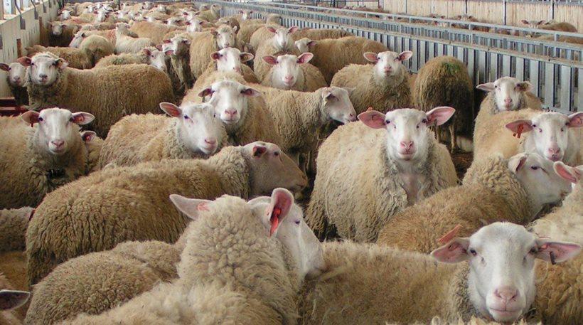 Ηράκλειο: Έκλεψε 24 πρόβατα από συγχωριανούς του