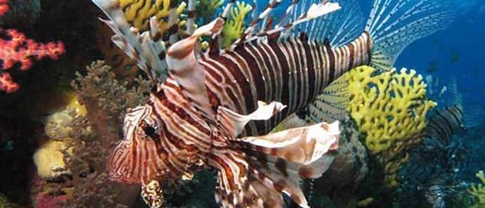 """Το δηλητηριώδες """"λεοντόψαρο"""" στα νερά της Κρήτης – Τι πρέπει να κάνετε αν σας τσιμπήσει"""