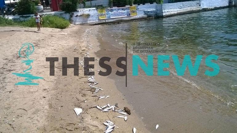 Χαλκιδική: Γέμισε με νεκρά ψάρια το λιμανάκι του Νέου Μαρμαρά