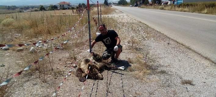 Καστοριά: Νεαρή αρκούδα έχασε τη ζωή της όταν χτυπήθηκε από αυτοκίνητο