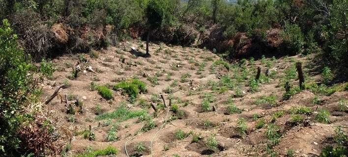 Λακωνία: Εντοπίστηκαν τρεις φυτείες με πάνω από 1.200 δενδρύλλια ινδικής κάνναβης