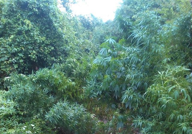 Εντοπίστηκε φυτεία κάνναβης σε δασώδη περιοχή της Καρδίτσας