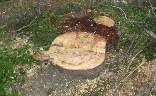 1.400 επικίνδυνα δέντρα στην πόλη του Βόλου