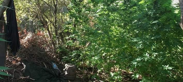 Εντοπίστηκε φυτεία με πάνω από 1.100 δενδρύλλια κάνναβης [εικόνες]