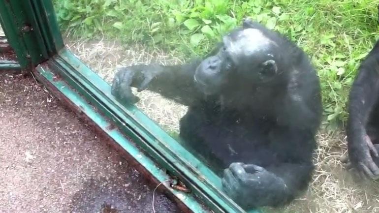 Ο χιμπατζής ζητά επίμονα ένα αναψυκτικό