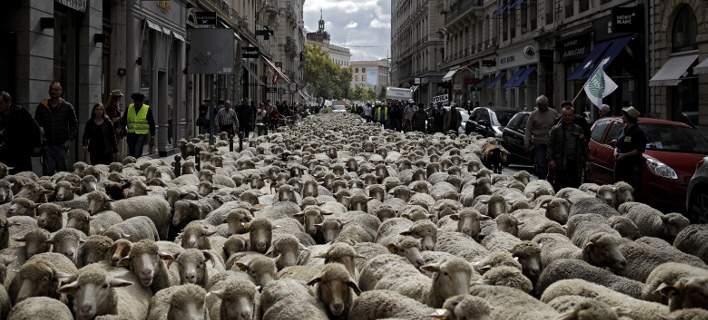«Εισβολή» προβάτων στη Λυών. Γέμισαν οι δρόμοι με κοπάδια [εικόνες]