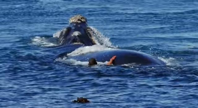 Φάλαινες 10 μέτρων «χορεύουν» γύρω από κολυμβητή [βίντεο]