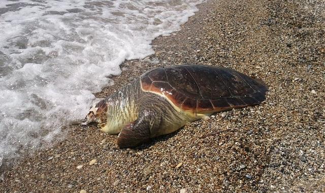 Νεκρή βρέθηκε χελώνα καρέτα –καρέτα στην Ν. Αγχίαλο