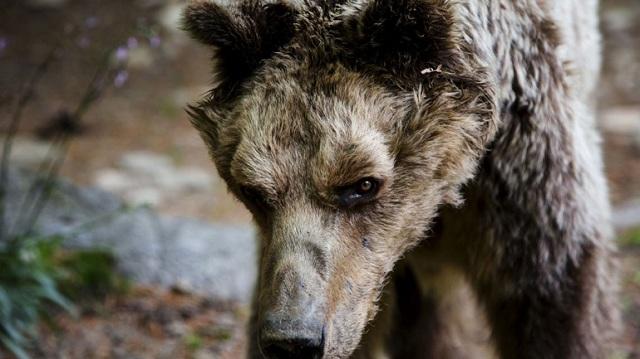 Απεβίωσε ο «Μήτσος», η γηραιότερη αρκούδα στον Αρκτούρο