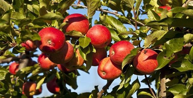 Εξαγωγές μήλων της Ζαγοράς στο Ντουμπάι