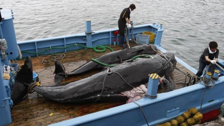 Θα σκοτώσουν 333 φάλαινες για... ερευνητικούς λόγους στην Ιαπωνία