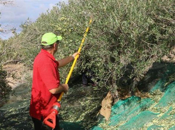 Κλέβουν τις ελιές σε Πτελεό και Σούρπη