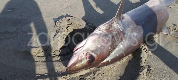Καρχαρίας 3 μέτρα «βγήκε» στην παραλία του Πλατανιά Χανίων [εικόνες]