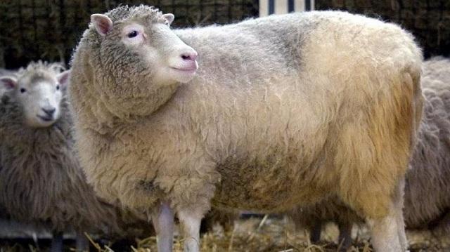 Νέα έρευνα για το κλωνοποιημένο πρόβατο Ντόλι