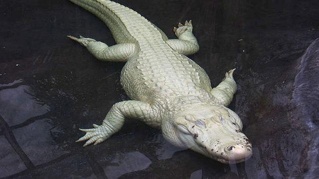 Σπάνιος λευκός κροκόδειλος βρέθηκε σε ποταμό της Βόρειας Αυστραλίας