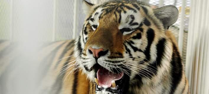 Πανικός στο Παρίσι: Αστυνομικοί σκότωσαν μια τίγρη που κυκλοφορούσε ελεύθερη [βίντεο]
