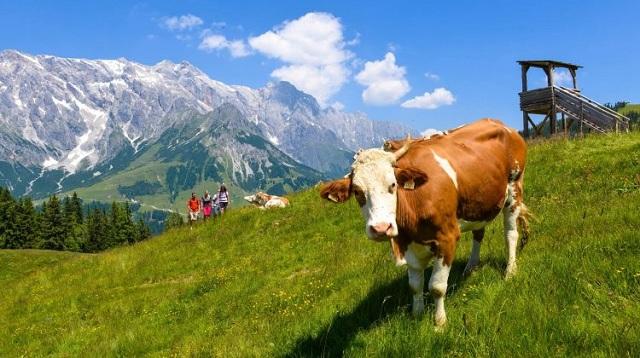 Καταδίκη κτηνοτρόφου για… αδέσποτες αγελάδες στο Περτούλι