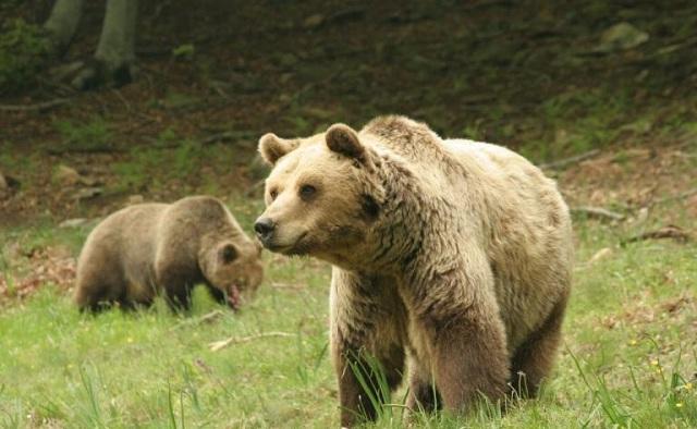 Νεκρή με σφαίρες για αγριογούρουνο βρέθηκε νεαρή αρκούδα